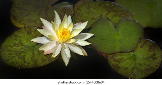 Banner of a yellow water lily