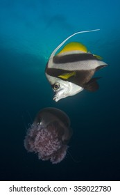 Bannerfish eating jellyfish fish underwater ocean