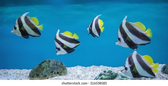 Bannerfish (Heniochus acuminatus) in the aquarium