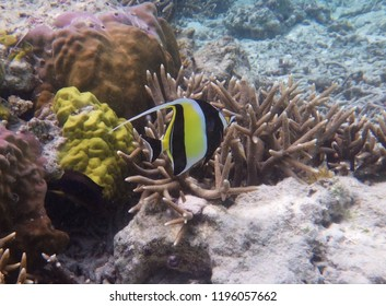 Bannerfish over coral reefs