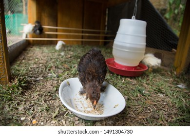 Bantam Chicks eating in a bowl inside of a hen house with grass floor. Crossbreed of Silkie and Polish chicken breeds. Wooden background.  Urban farm in Florianópolis / Brazil