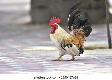 Bantam,Small breed chicken in the outdoor garden