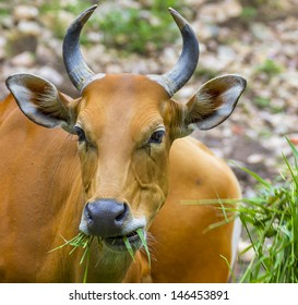 Banteng or Red Bull eating grass