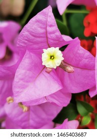 """BANTING, MALAYSIA - 27 AUGUST 2019 : The beauty of Bougainvillea planted by the people in Banting around their houses, sometimes referred to as """"paper flower"""" because the bracts are thin and papery."""