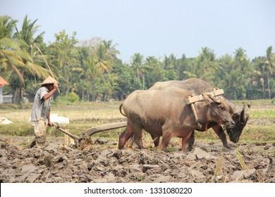 Bantul, yogyakarta, INDONESIA - CIRCA 2015 - CIRCA 2019: A farmer is plowing the fields using two buffaloes. Called kerbau in Indonesia. Petani bersama kerbau