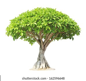 Banyan or ficus bonsai tree isolated on white background