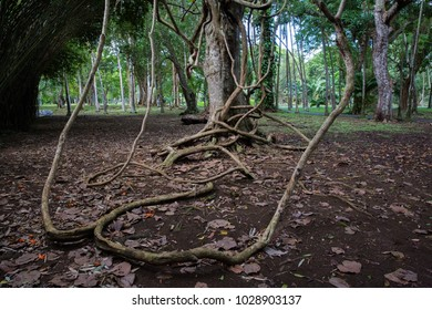 Banyan knot tree in the National Botanical Garden near Port Louis in the district of Pamplemousse, Mauritius