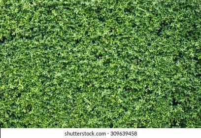 Banyan leaves green wall background