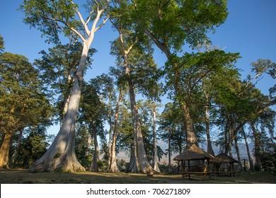 Banyan Mahogany trees in north east Lombok area