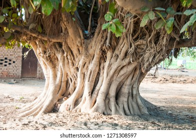 A Banyan sacred tree for Hindus