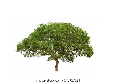 Banyan Tree (Ficus annulata), tropical tree in the northeast of Thailand isolated on white background