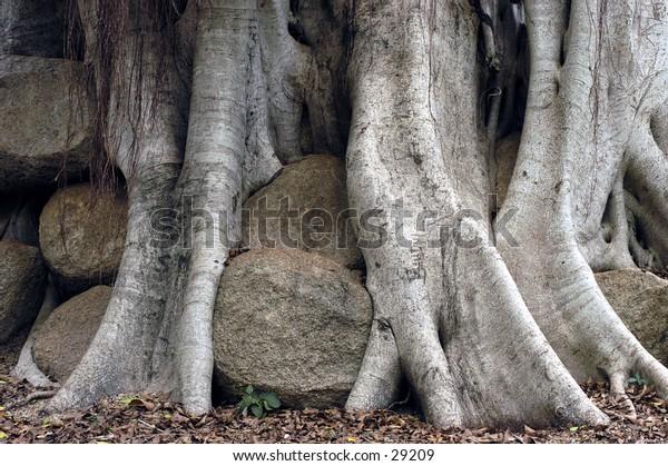 Banyan tree growing through the rocks.