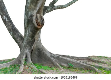 Banyan tree has large roots cut to make a white background.