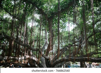 Banyan Tree in Lahaina Court Park
