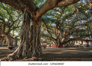 The Banyan Tree in Lahaina (Maui, HI)