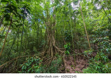 banyan tree with massive root system deep in bamboo rainforest on manoa falls trail in manoa, near honolulu hawaii Oahu USA