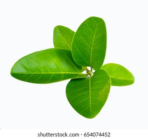Banyan tree new leaf or young shoot Isolated