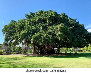 Banyan tree in the park in Honolulu