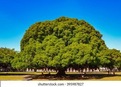 Banyan tree in perfect shape