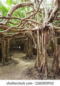 Banyan tree (Sai Ngam) in Phimai district, Nakhon Ratchasima Province, Thailand