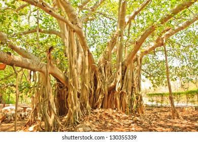 Banyan tree in Temple
