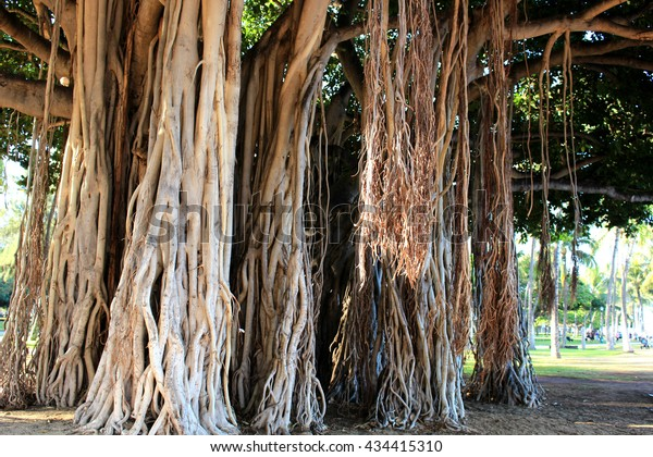 Banyan tree in Waikiki beach Hawaii