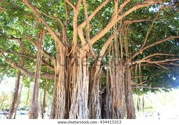 stock photo Banyan tree