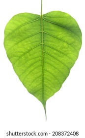 Banyan Tree young leaf isolated in white background.