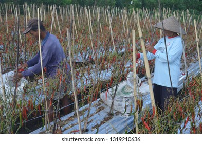 Banyuwangi, East Java/ Indonesia - February, 2 2015 : the condition of the chilli plants affected by smallpox