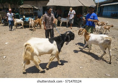 Banyuwangi Indonesia - Oct 17, 2015 : Farmer bring his goats for sale at Pasar Sapo Banyuwangi Indonesia.This is a market where farmers sell their livestock like goats to interested buyers.