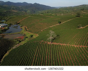 bao loc green tea plantation from aerial view