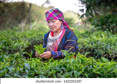 Bao Loc, Lam Dong province, Vietnam - Jun 2, 2019: the portrait of H'Mong ethnic woman in traditional clothes picking and harvesting tea in Bao Loc, Lam Dong province, Vietnam