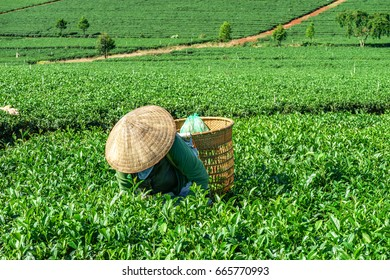 BAO LOC, VIETNAM - MAY 05, 2016: Young people collecting tea at Bao Loc, Lam Dong, Vietnam