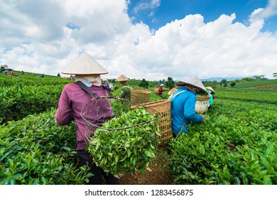 BAO LOC, VIETNAM - October 05, 2018: Farmers collecting tea at Bao Loc, Lam Dong, Vietnam.