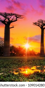 Baobab, Adansonia or also abre bottle in Australia at sunset