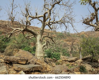 Baobab (Adansonia gibosa) in the Dogon Land, Mali