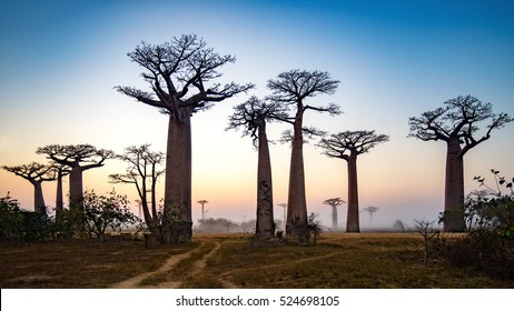 Baobab Alley at dawn - Madagascar