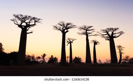 Baobab Avenue in Morondava Madagascar Africa Dry Season