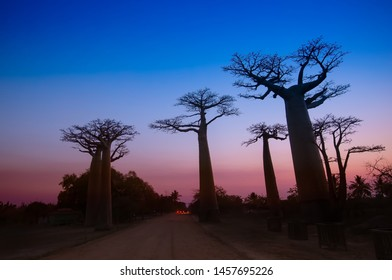 Baobab Avenue with the tourist looking Sunset scene with Baobab tree Avenue in Morondava ,Madagascar