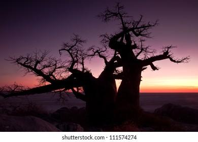Baobab cellulite with daybreak at Kubu Island.