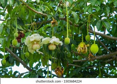Baobab flower and Boabab fruit hanging on tree - Adansonia digitata.