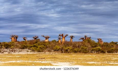 Baobab forest near Andavadoaka, western Madagascar