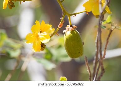 Baobab fruit and blossom