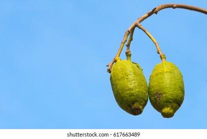 Baobab fruits