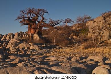 Baobab on Kubu Island in Botswana