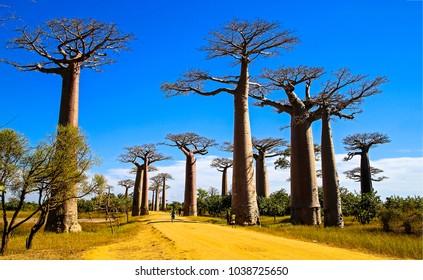 Baobab road Madagascar landscape