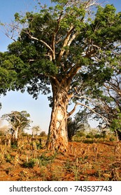 baobab in savanna in eastern Mozambique