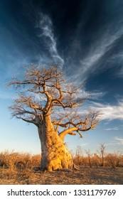 Baobab tree (Adansonia digitata) Makgadigadi Pans at Gweta in Botswana.