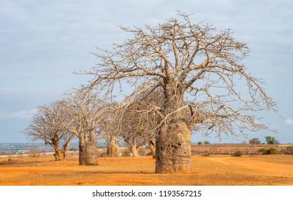 Baobab tree Angola, Luanda trees near the sea. Travel to Luanda, Angola in West-Africa to see baobab trees