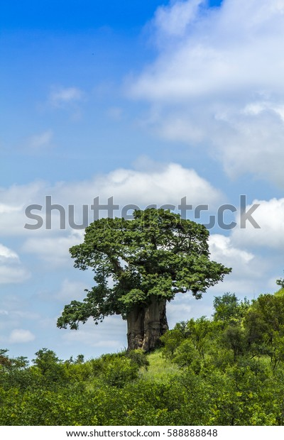 baobab tree in a green savannah, Kruger National Park, South Africa